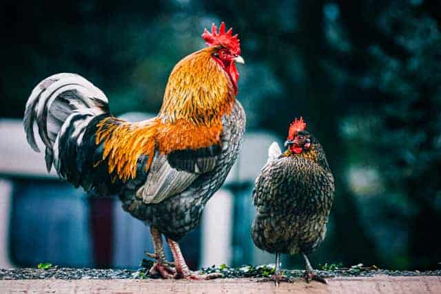 Can Chickens Lay Eggs Without A Rooster