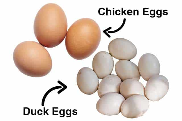 What Is The Difference Between Chicken Eggs And Duck Eggs