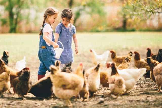 10 Best Chickens For Meat And Eggs